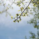 Blue Skies Green Leaves by photographyjen
