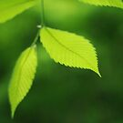 Green Leaves by photographyjen