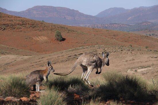 Roos at Flinders Rangers National Park, SA by Chris  Widmer