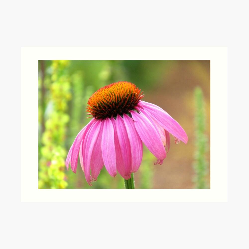 pinker Sonnenhut - Blüten, Blumen, pink Kunstdruck