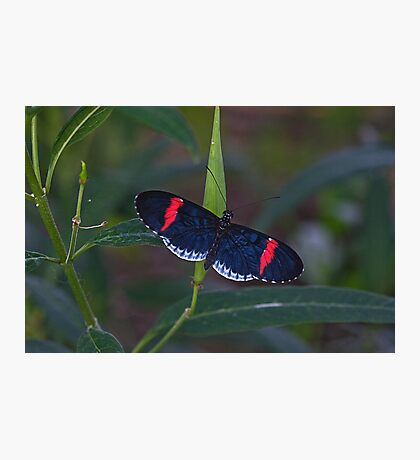 Red & Black Butterfly Photographic Print