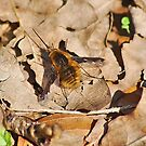 Bee fly by relayer51