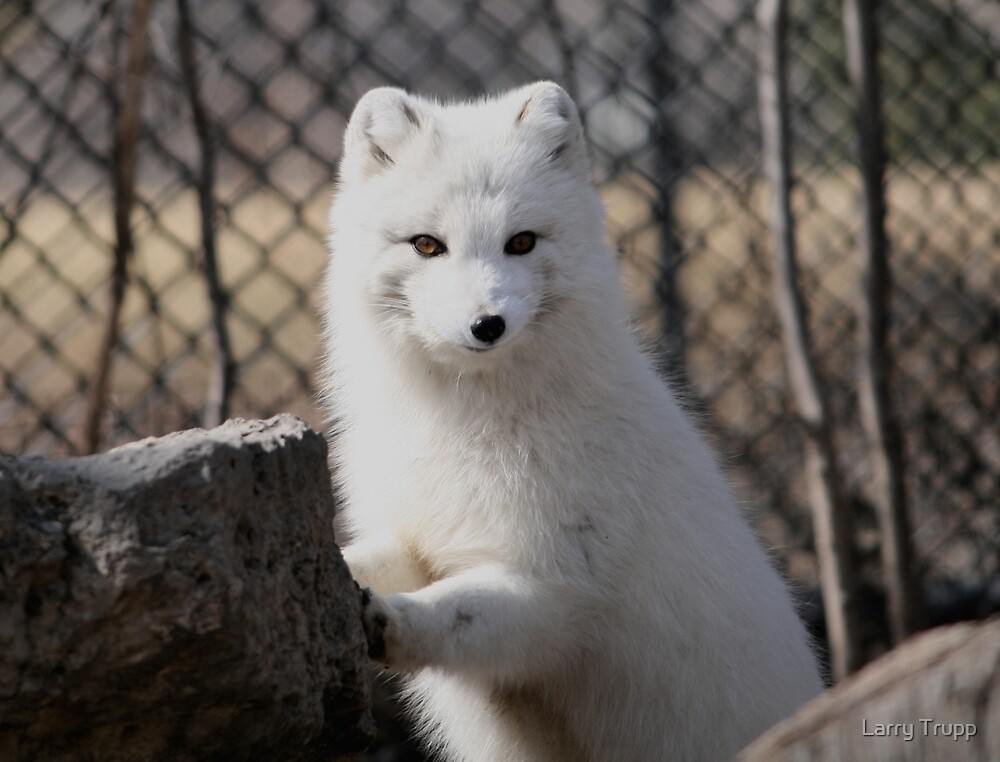 Quot Baby Arctic Fox Quot By Larry Trupp Redbubble