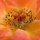 Rose by Ingrid Funk