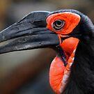 African Ground Hornbill by Larry Trupp