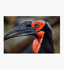 African Ground Hornbill Photographic Print