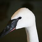 Trumpeter Swan by Larry Trupp