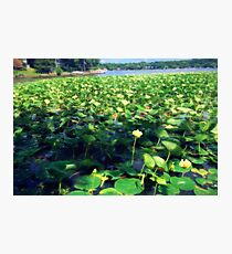 Lotus Blossoms in Bloom Photographic Print