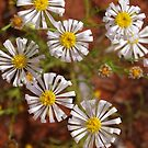 Outback Australian  Wild flowers, Cobar , NSW. by Virginia McGowan