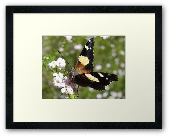 Australian Admiral Butterfly - Vanessa itea - Adelaide, Australia by Dan Monceaux