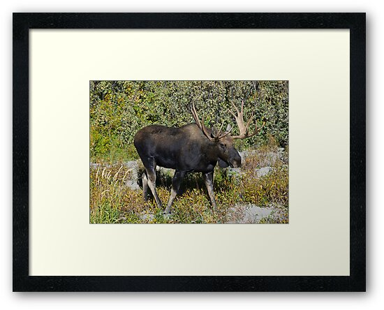 Bull Moose by Luann wilslef