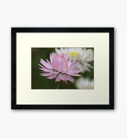Pretty Pink Daisy Framed Print