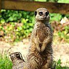 Meerkat by Trevor Kersley