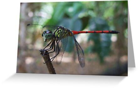 Balancing Act - Dragon Fly, Kakadu, Northern Territory by Karen Stackpole