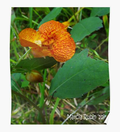 Orange Jewelweed (Impatiens capensis) Poster
