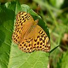 Silver Washed Fritillary, Argynnis Paphia by Tony4562