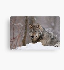 Timberwolf in Winter Metal Print