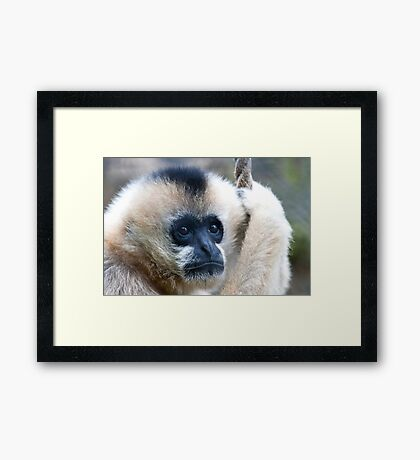 Indian Langurs Monkeys,  Framed Print