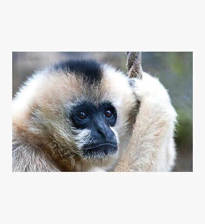 Indian Langurs Monkeys,  Photographic Print