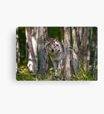 Timber wolf in Forest Canvas Print