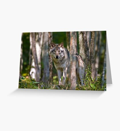 Timber wolf in Forest Greeting Card