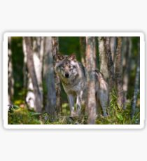 Timber wolf in Forest Sticker