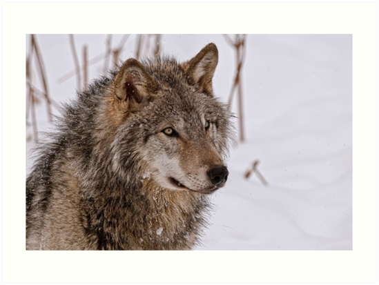 Timber Wolf Portrait  by Michael Cummings