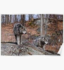 Timber Wolves on Rocks Poster