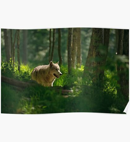 Timberwolf in Forest  Poster