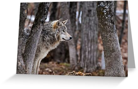 Timber Wolf in trees by Michael Cummings