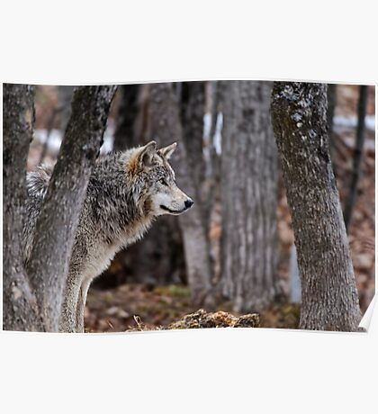 Timber Wolf in trees Poster