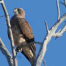 Swainson's Hawk by Arla M. Ruggles