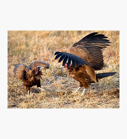 Hooded Vulture Dispute Photographic Print