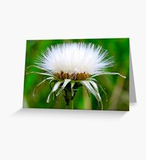 Fluff pods.... Greeting Card