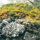 Tasmanian Deciduous Beech by keleeson