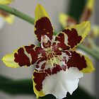 Orchid (Oncidium ) by triciaoshea
