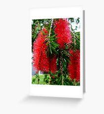 Red Bottle Brush, Australia Greeting Card