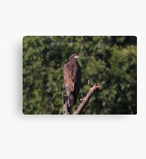 The Young Eaglet Profile Canvas Print