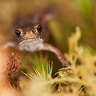 Common Toadlet Head-on View by kernuak