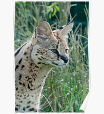 Serval Poster