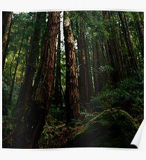 Ocean View Trail, Muir Woods (8/15/2010) Poster