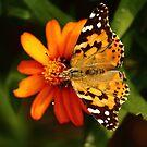 Butterfly Fullview by vasu