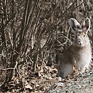 Snowshoe Hare by Marty Samis