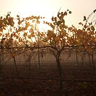 Autumn Fog In The Vineyard by Eve Parry