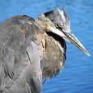 Great blue heron by AlyxDellamonica