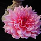Magnificent pink Dahlia by Marjorie Wallace