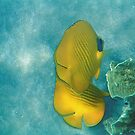 Red Sea Masked Butterflyfish On Turquoise by hurmerinta