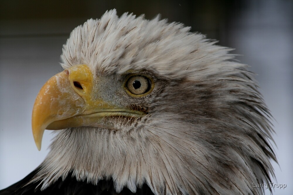 The Bald Eagle by Larry Trupp