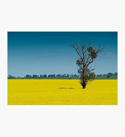 A field of gold Photographic Print
