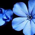 Blue Plumbago by EverChanging1